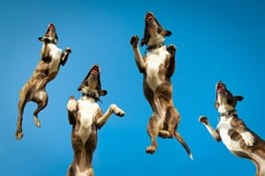 Freeze-framed dogs: A Staffordshire bull terrier jumping at Sheepcote Valley in Brighton