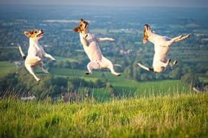 Freeze-framed dogs: Arty the Jack Russell leaping