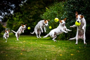 Freeze-framed dogs: A Jack Russell leaping for a ball in Stanmer Park