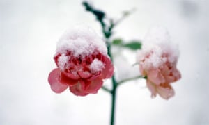 Roses in snow by Christopher Thomond