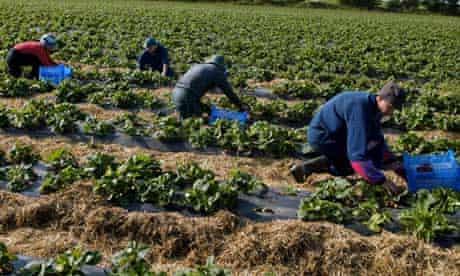 Migrant workers pick strawberries in Norfolk
