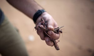 A man holds a handful of the locusts.