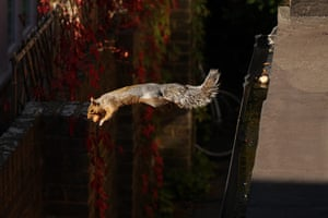 Inpics-leap: squirrel jumping off side
