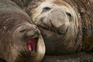 Elephant seal gallery: A Southern Elephant seal protects one of the females