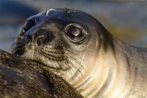 Elephant seal gallery: A young Southern Elephant seal pup
