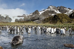 Elephant seal gallery: A southern Elephant Seal pup with penguins