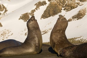 Elephant seal gallery: Two male Southern Elephant