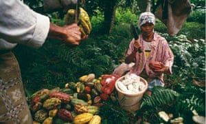 Women sorting out cocoa fruits