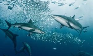 Oceanic Blacktip And Bronze Whaler Sharks Attacking Bait Ball Port St Johns South Africa Photograph Alexander Safonov Barcroft Media