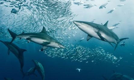 Sharks blacktip