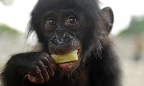 An orphaned bonobo eats sugar cane after being rescued at the Jardin Rose bar in Kinshasa's Kinkole neighborhood by staff of the Lola ya bonobo (Paradise for Bonobos), a 35-hectare sanctuary outside Kinshasa.