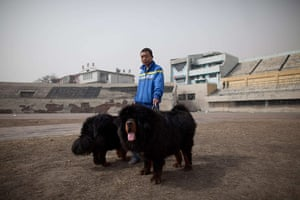 Mastiff Show: A man walks his Tibetan mastiff dogs