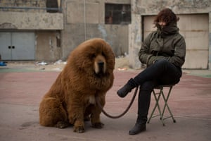 Mastiff Show: Cold Tibetan mastiff dog