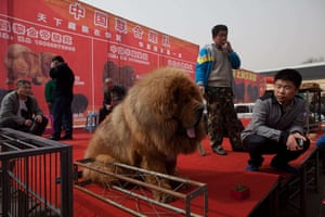Mastiff Show: VVendors gather on a stage with their Tibetan mastiffs.