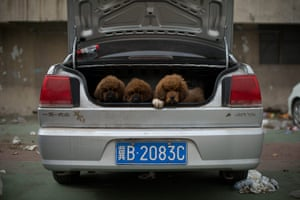 Mastiff Show: Puppies in the trunk