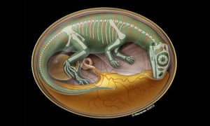 Illustration of a dinosaur embryo inside its egg.
