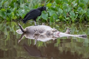 Week in Wildlife: A black condor eats a dead alligator floating in the Paraguay river