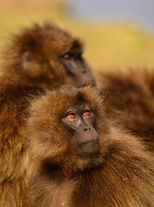 Week in Wildlife: Gelada baboons in the Simien Mountains of Ethiopia