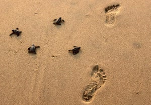 Week in Wildlife: Newly-hatched baby Olive Ridley turtles crawl