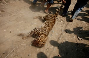 Week in Wildlife: Nepalese people drag a dead leopard that attacked locals