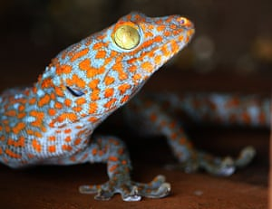 Week in Wildlife: Activists are warning Tokay Gecko are in danger of being over-hunted