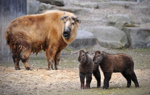 Week in Wildlife: Two Sichuan takin babies stand with their mother