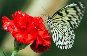 Week in Wildlife: A Paper Kite butterfly is pictured on a