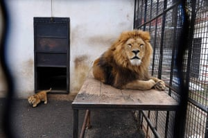 Week in Wildlife: A lion and cub in Onesti zoo, Romania