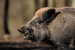 Week in Wildlife: Wild Boar baring his teeth