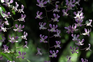 Week in Wildlife: Pigeon Orchids (Dendrobium crumenatum) in full bloom