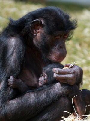 That's my boy. A baby bonobo suckles from its mother as it meets the public for the first time at Twycross Zoo in Warwickshire, England. The six-week old newborn is Banya's first baby boy, following three girls born over the past decade at Twycross Zoo.