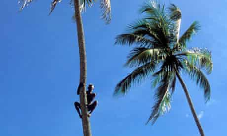 India Kerala A man climb on coconut tree