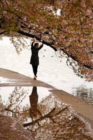 A woman reaches up to the branch of a cherry tree at the Tidal Basin in Washington DC. The much-celebrated cherry trees are in full bloom in Washington this week.
