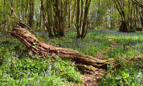 Bluebells delayed by cold weather