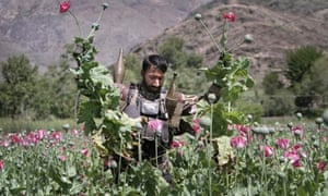 An Afghan policeman destroying a poppy field in Kunar province, east of Kabul