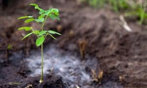 acacia tree sapling