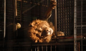 A lion lies in its cage at the Circo Orfei, an Italian circus.