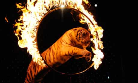 A tiger leapes through a flaming ring of fire