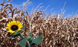 Parched corn field with sunflower