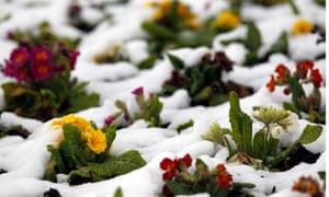 spring flowers blanketed by snow