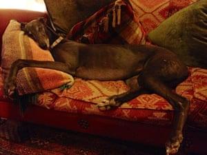 Top pets: sleeping dogs: Sleeping dogs: Greyhound on sofa