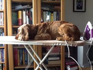 Top pets: sleeping dogs: Sleeping dogs: Dog on ironing board