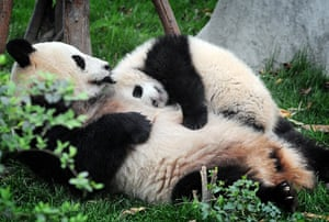Pandas: Mother and baby