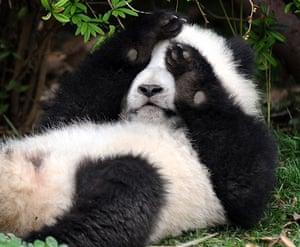 Pandas: A bashful baby panda