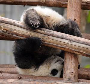 Pandas: A baby panda falls while playing