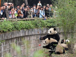 Visitors convey apples to the pandas