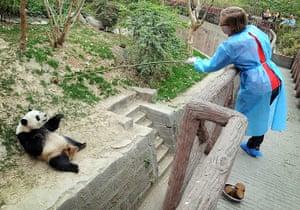Pandas: Journalist Hazel Southam lowers a treat to an expectant panda
