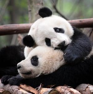 Two adolescent pandas