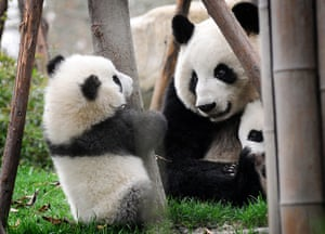 Pandas: Mother panda and her cubs