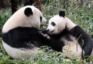 Pandas: Mother and adolescent panda play